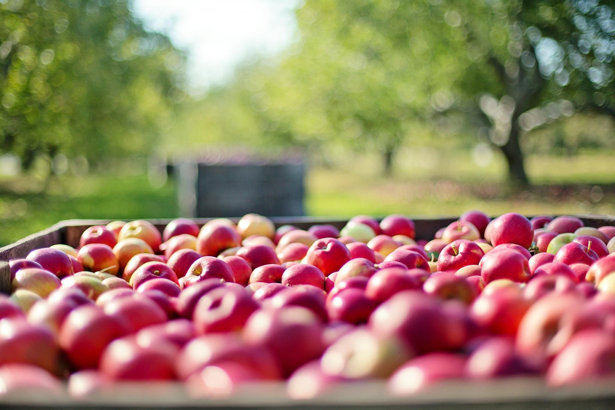 Embargo jabłka
